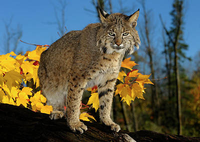 Cat Photograph - Bobcat On A Fallen Tree Trunk With Yellow Maple Leaves And Blue  by Reimar Gaertner