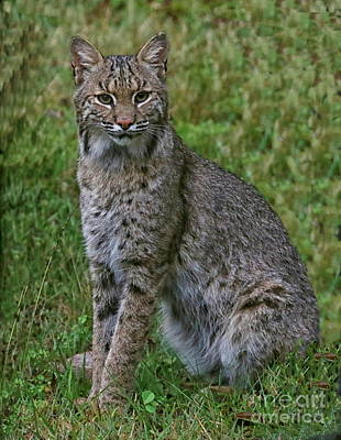 Photograph - Bobcat On Alert by Myrna Bradshaw