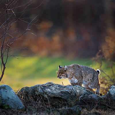 Photograph - Bobcat On The Hunt Square by Bill Wakeley