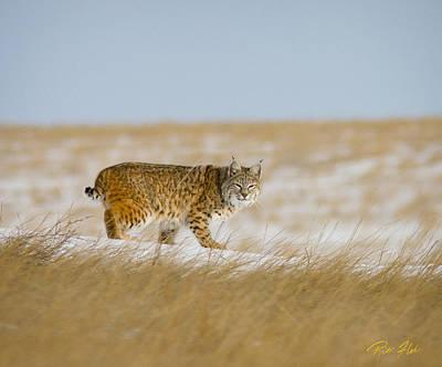 Photograph - Bobcat On The Prowl by Rikk Flohr