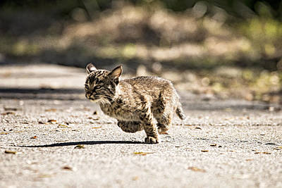Photograph - Bobcat On The Run by Michael White