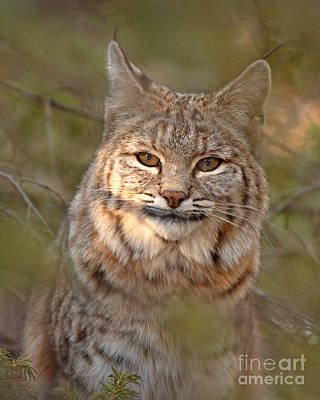 Bobcat Portrait Surrounded By Pine Art Print