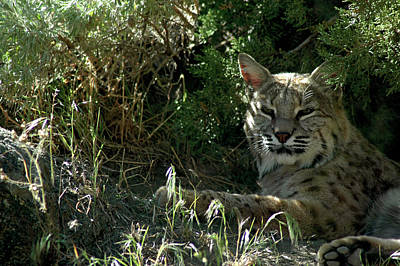Cat Photograph - Bobcat Reno Nv by LeeAnn McLaneGoetz McLaneGoetzStudioLLCcom