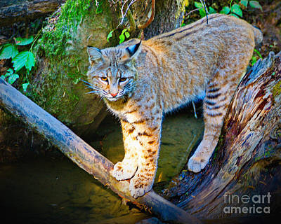 Photograph - Bobcat Scanning The Water by Ansel Price