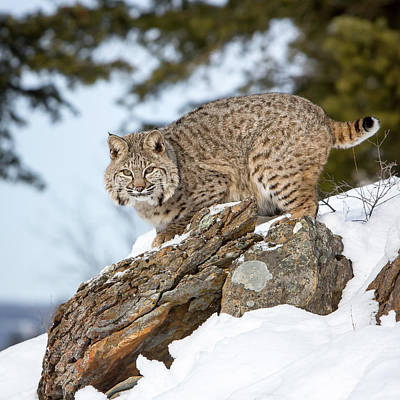 Photograph - Bobcat Stare by Jack Bell