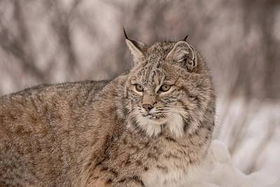 Photograph - Bobcat Study by Patricia Dennis