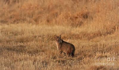 Photograph - Bobcat by Thomas Danilovich