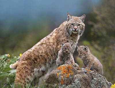 Photograph - Bobcat by Tim Fitzharris
