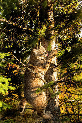 Photograph - Bobcat Up A Tree by Roy Nierdieck