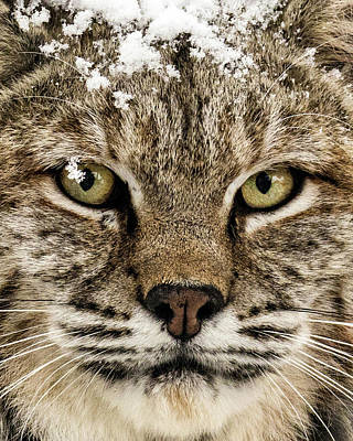 Photograph - Bobcat Whiskers by Dawn Key