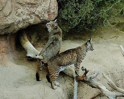 Male Bobcat Photograph - Bobcats On Guard by Robert Visor