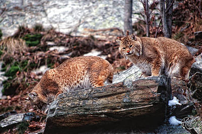 Bobcats On The Loose Art Print by Brad Hoyt