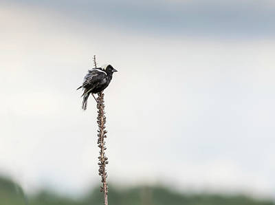 Photograph - Bobolink 2017-3 by Thomas Young