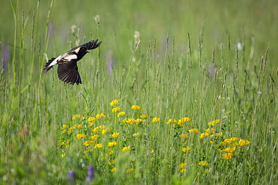Photograph - Bobolink In Paradise by Bill Wakeley