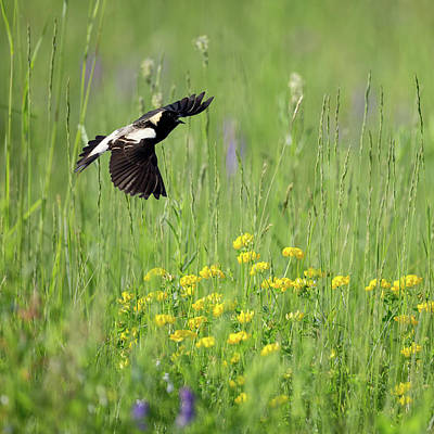 Photograph - Bobolink In Paradise Square by Bill Wakeley