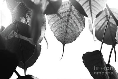 Photograph - Bodhi Leaves by Atiketta Sangasaeng