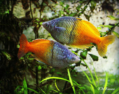 Photograph - Boeseman's Rainbowfish by Kathy M Krause
