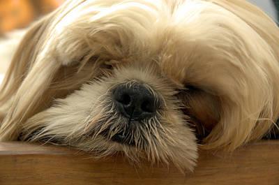 Photograph - Bogie Asleep by Kathi Shotwell