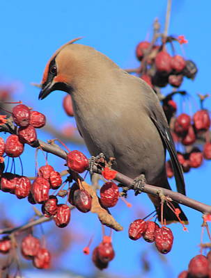 Photograph - Bohemian Waxwing In Fruit Tree by John Burk