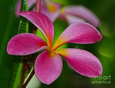 Photograph - Bok Pink Plumeria by Deborah Benoit