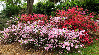 Photograph - Bok Tower Azaleas Aflame by Judy Wanamaker