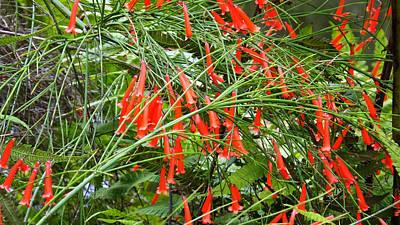 Photograph - Bok Tower Gardens Firecracker Plant by Judy Wanamaker