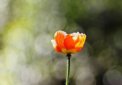 Photograph - Bokeh Poppy by Katherine White