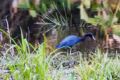 Heron Photograph - Bold Background - Little Blue Heron by J Darrell Hutto