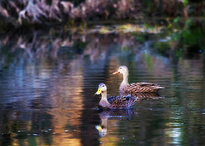 Custom Photograph - Bold Background - Mottled Duck  by J Darrell Hutto