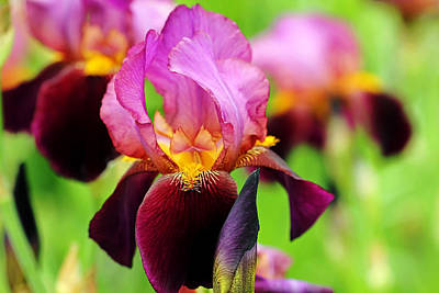 Pop Art Rights Managed Images - Bold Bearded Iris Royalty-Free Image by Debbie Oppermann