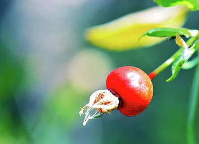 Photograph - Bold Berry by Brent Dolliver