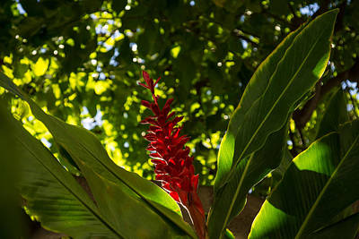 Photograph - Bold Jewel In The Jungle - Red Ginger In Hawaii by Georgia Mizuleva