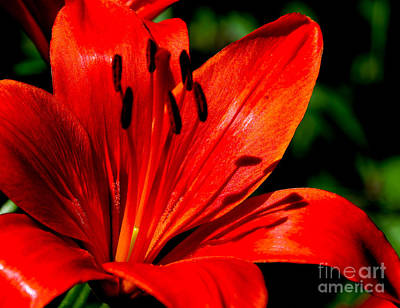 Photograph - Bold Lily by Marilyn Carlyle Greiner