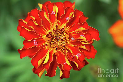 Photograph - Bold Marigold by Karen Adams