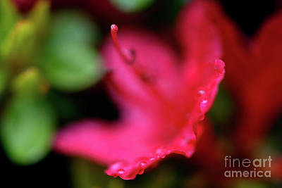 Photograph - Bold Red Azalea by Terry Elniski