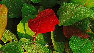 Photograph - Bold Red Sea Grape Leaf by Lawrence S Richardson Jr