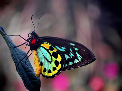 Photograph - Bold Wings - Butterfly by MTBobbins Photography