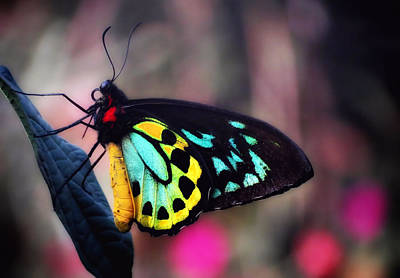 Photograph - Bold Wings Glow - Butterfly by MTBobbins Photography