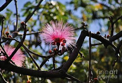 Photograph - Bombax Pink Pom Pom by Craig Wood