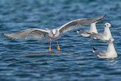 Photograph - Bonaparte's Gull Landing by CR Courson
