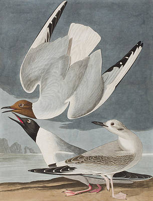Flying Seagull Painting - Bonapartian Gull by John James Audubon