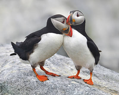 Puffin Photograph - Bonded And Banded by Tony Beck