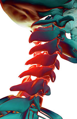 Spine Digital Art - Bones Of The Neck by MedicalRF.com