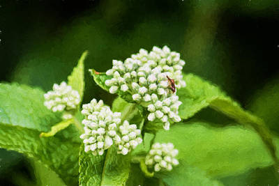 Wildflowers Photograph - Boneset by Black Brook Photography