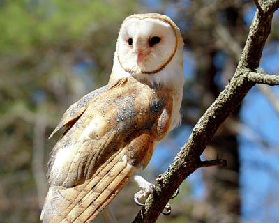 Photograph - Bonnie The Barn Owl by Peter Green