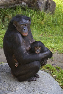 Bonobo Pan Paniscus Mother Cradling Art Print by San Diego Zoo