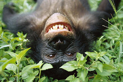 Bonobo Pan Paniscus Smiling Art Print by Cyril Ruoso