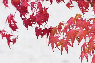 Katsura Wall Art - Photograph - Bonsai Acer Palmatum Katsura by Tim Gainey