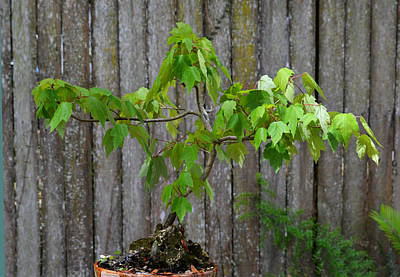 Photograph - Bonsai Acer Rubrum - Swamp Maple by rd Erickson