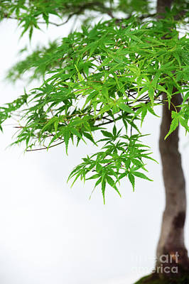 Photograph - Bonsai Acer Tree by Tim Gainey
